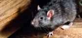 Zajímavosti, pravdy a nepravdy o potkanech