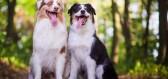 Australský ovčák je výjimečné psí plemeno, které musíte mít doma