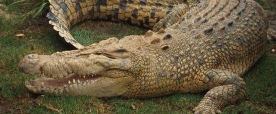 Těhotná žena vytáhla muže z krokodýlích čelistí!