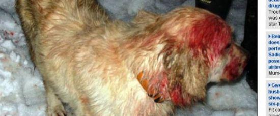 Hrdina! Pes zachránil chlapce před útokem pumy!