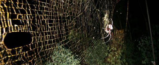 Pavoučí monstrum plete metrové sítě