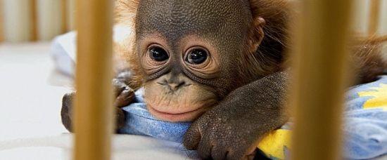 Podívejte! Nemocnice pro orangutaní miminka