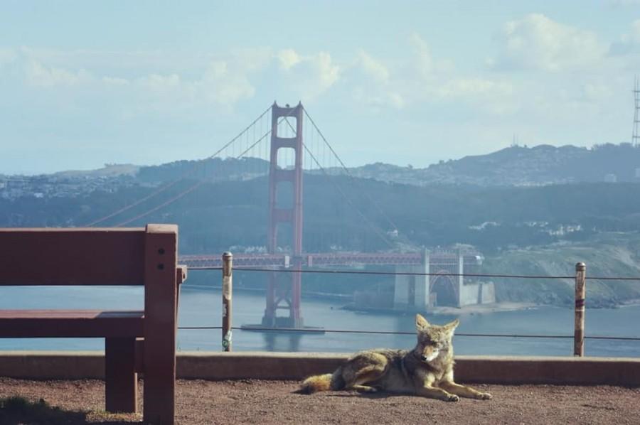 Kojot v San Francisku