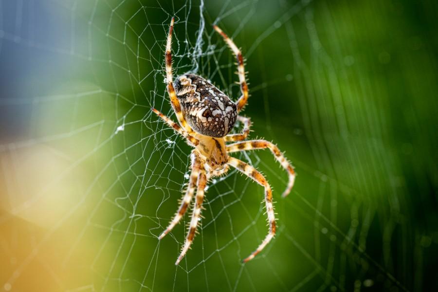 Žravý pavouk