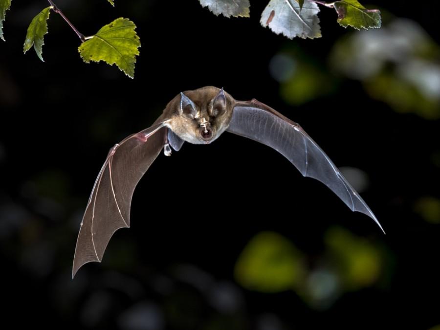 Letící netopýr