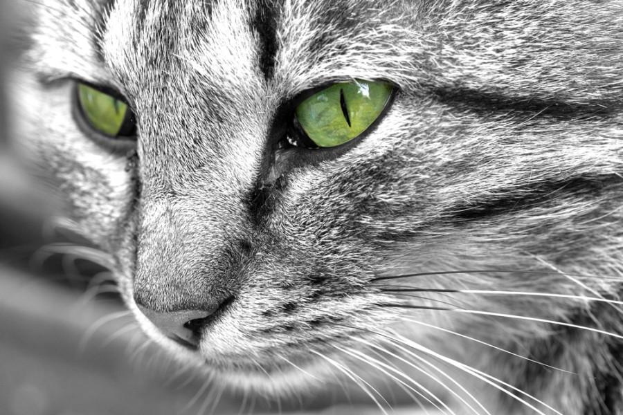 Zornice kočky
