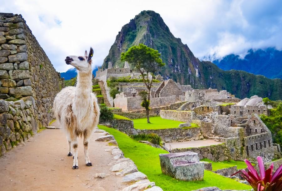 Lama u Machu Picchu