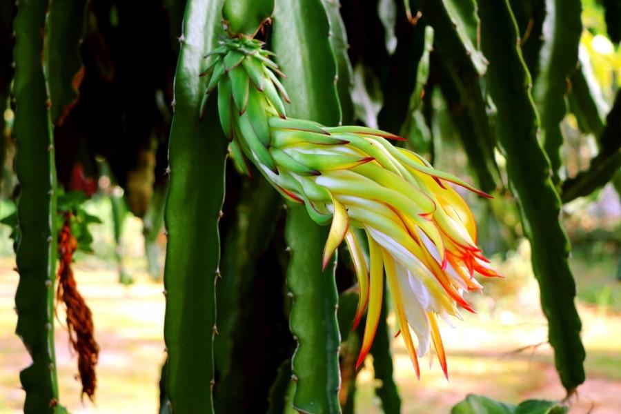 Rostlina dračí ovoce